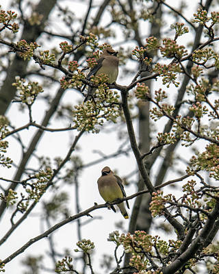 Cedar Waxwings In A Blossoming Tree Poster