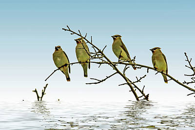 Cedar Waxwings On A Branch Poster by Geraldine Scull
