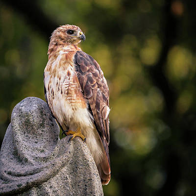 Cemetery Hawk Poster