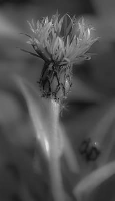 Centaurea Montana 1 Poster by Mo Barton