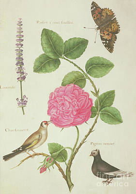 Centifolia Rose, Lavender, Tortoiseshell Butterfly, Goldfinch And Crested Pigeon Poster by Nicolas Robert