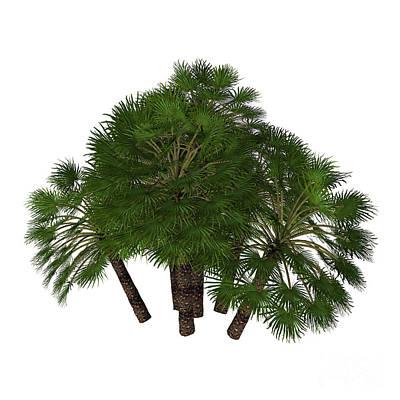 Chamaerops Humilis Mediterranean Fan Palm Poster by Corey Ford