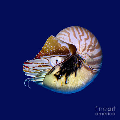 Chambered Nautilus In The Deep Blue Poster by Wernher Krutein