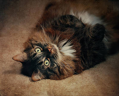 Champagne - My Lazy Main Coon Cat Poster