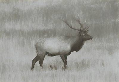 Charcoal Bull Elk In Field Poster