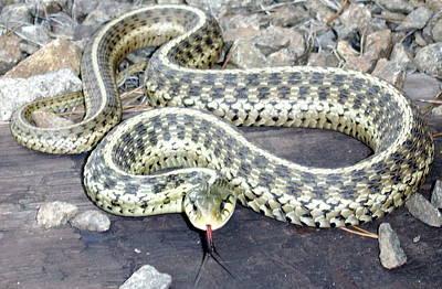 Checkered Garter Snake Poster