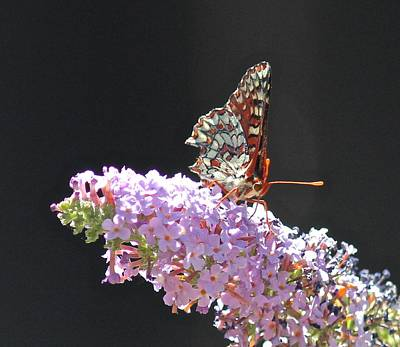 Checkerspot Butterfly Poster
