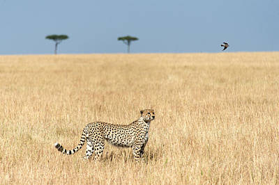Cheetah Acinonyx Jubatus In Plains Poster by Panoramic Images