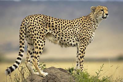 Cheetah Acinonyx Jubatus On Termite Poster