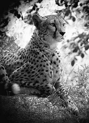 Cheetah B W, Guepard Black And White Poster