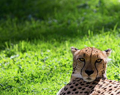 Poster featuring the photograph Cheetah Face by Rebecca Cozart