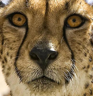 Cheetah Poster by Lynn Andrews