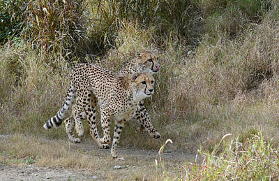 Poster featuring the photograph Cheetah Trot by Fraida Gutovich