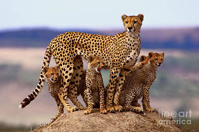 Cheetah With Cubs Poster by Rolf K�pfle