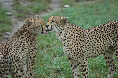 Cheetahs Acinonyx Jubatus At The Sunset Poster by Joel Sartore