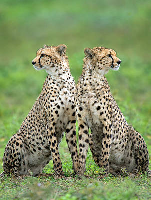 Cheetahs Acinonyx Jubatus In Forest Poster by Panoramic Images