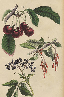 Cherries And Berries Poster