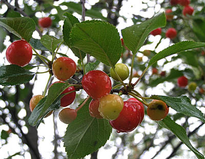 Poster featuring the photograph Cherries In The Morning Rain by Angie Rea