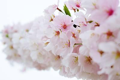 Cherry Blossom Focus Poster