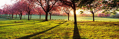 Cherry Blossom In A Park At Dawn Poster by Panoramic Images