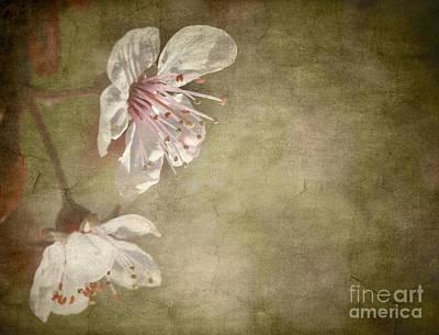 Cherry Blossom Poster by Meirion Matthias