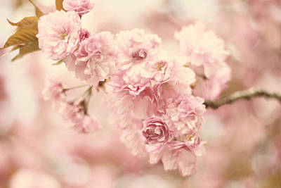 Cherry Blossom Petals Poster by Jessica Jenney
