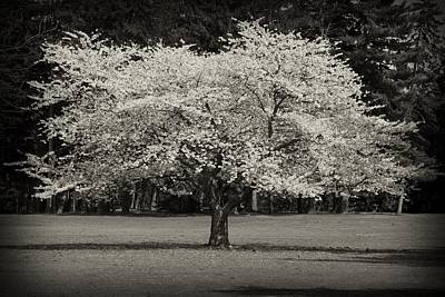 Cherry Blossom Tree - Ocean County Park Poster