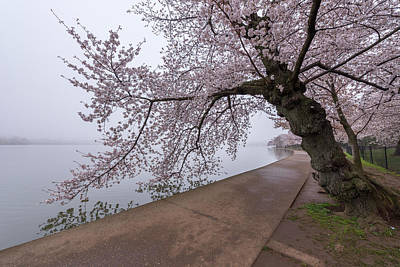 Cherry Blossom Tree In Fog Poster by Michael Donahue
