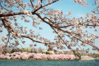 Cherry Blossoms Along The Tidal Basin Five Poster