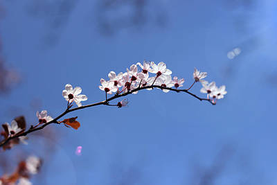 Poster featuring the photograph Cherry Flowers With Lens Flare by Helga Novelli