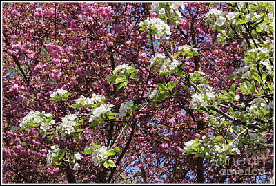 Cherry Tree And Pear Blossoms Poster