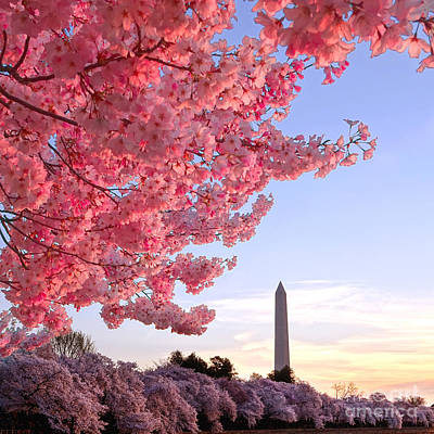 Cherry Tree And The Washington Monument  Poster by Olivier Le Queinec