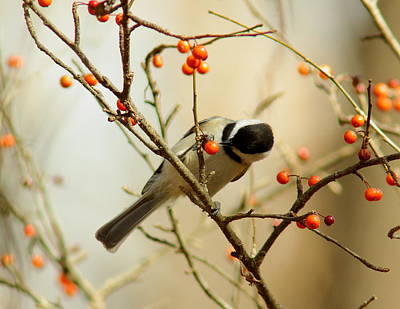 Chickadee 1 Of 2 Poster by Robert Frederick