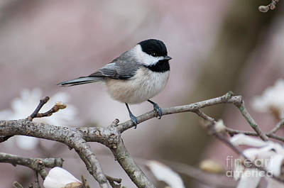 Poster featuring the photograph Chickadee - D010026 by Daniel Dempster