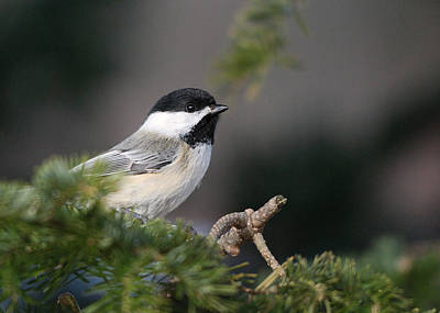 Poster featuring the photograph Chickadee In Balsam Tree by Susan Capuano