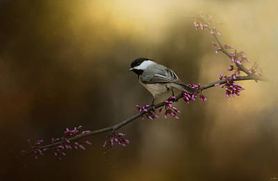 Chickadee In The Golden Light Poster by Jai Johnson