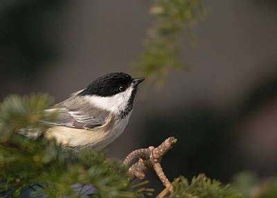 Poster featuring the photograph Chickadee In The Shadows by Susan Capuano