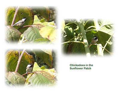 Chickadees In The Sunflower Patch Poster