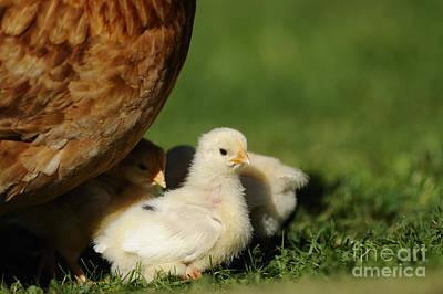 Chicken Chicks Poster by David & Micha Sheldon