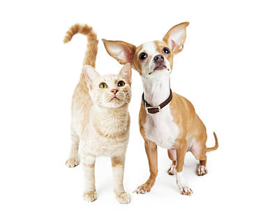 Chihuahua Dog And Young Orange Tabby Cat Poster