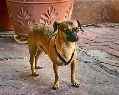 Chihuahua - Dogs Poster by Nikolyn McDonald