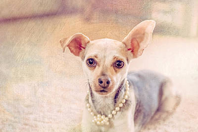 Chihuahua Pet Portrait Poster by Debi Bishop
