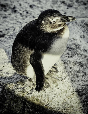 Poster featuring the photograph Chillypenguin by Chris Boulton