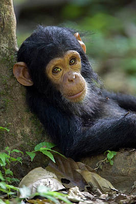 Poster featuring the photograph Chimpanzee Pan Troglodytes Baby Leaning by Ingo Arndt