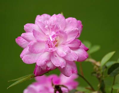 China Rose, Rosa Chinensis Poster