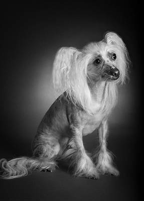 Chinese Crested - 03 Poster by Larry Carr