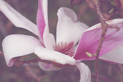 Chinese Magnolia Bloom Poster by Toni Hopper