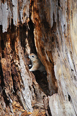 Poster featuring the photograph Chipmunk - Eager Arizona by Donna Greene