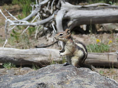 Chipmunk At Yellowstone Poster by Ausra Huntington nee Paulauskaite