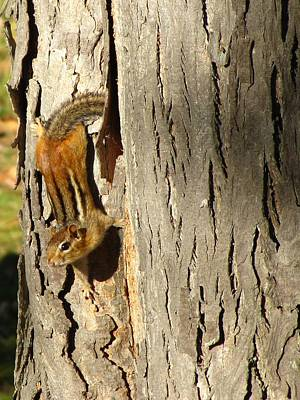Poster featuring the photograph Chipmunk In Fall by Rick Morgan